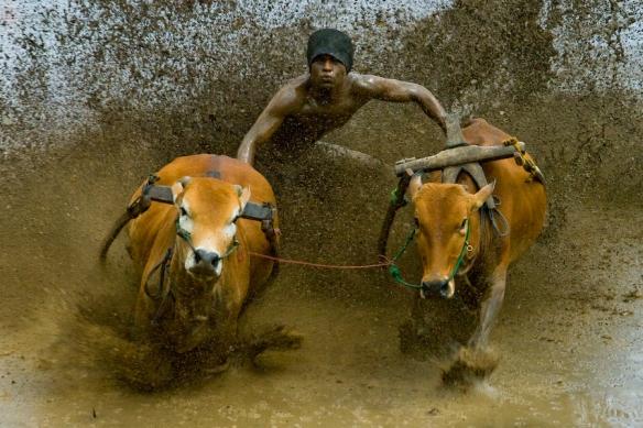 Bullock Race