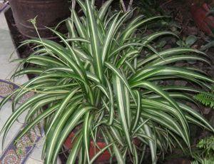 Spider Plant - Chlorophytum comosum 'Vittatum'