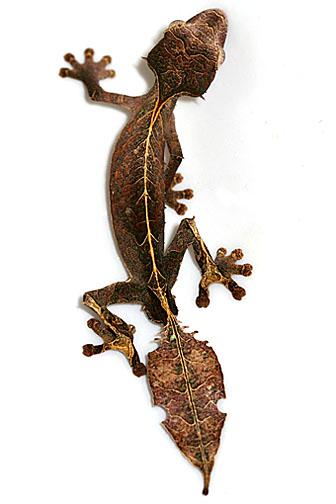 Male Uroplatus phantasticus - satanic / fantastic leaf-tail gecko (Photo credit: Wikipedia)