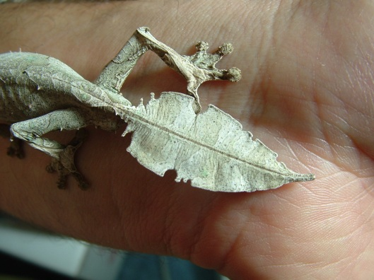 Tail of Leaf-tailed gecko