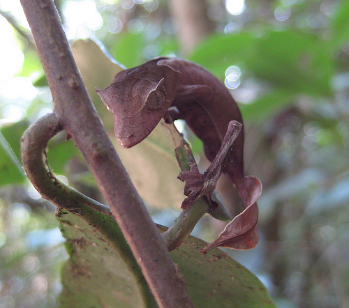 Uroplatus phantasticus (Leaf Tailed Gecko) (Photo credit: gripso_banana_prune)