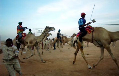 Camel Races in Saudi Arabia