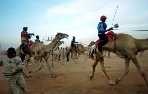 Camel Races in Saudi Arabia