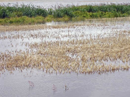 Waterlogged wheat fields