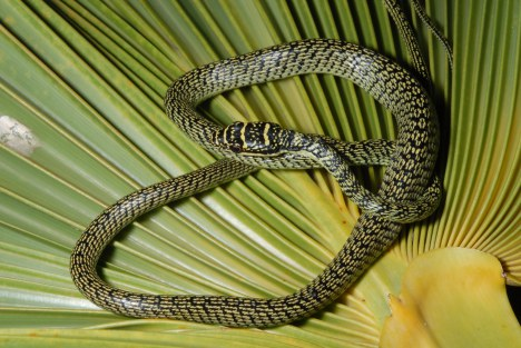 The Ornate Tree Snake captured at Hickam Hickam Air Force Base. (Photo by  Dr. Allen Allison, Bishop Museum