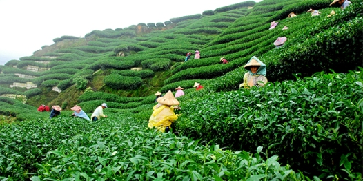Tea plantation in Assam