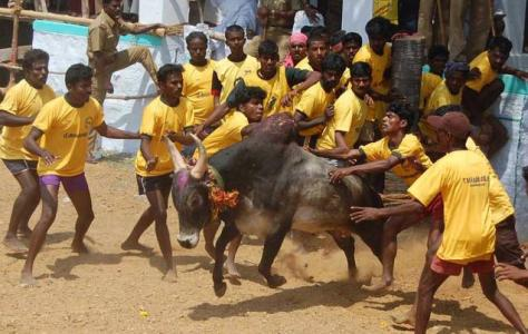 Youths trying to tame a bull at a jallikattu held at Idaiyathur, near Ponnamaravathy, in Pudukottai district, Tamilnadu, India (Source - thehindu.com)