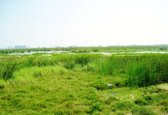 Pallikaranai marshland (Photo : T.V. Antony Raj)