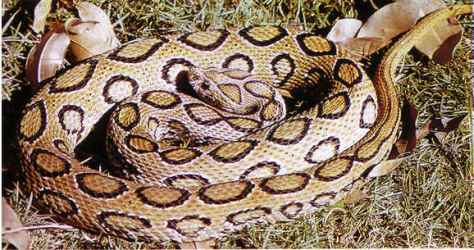 Russel's Viper (Source:  umich.edu)