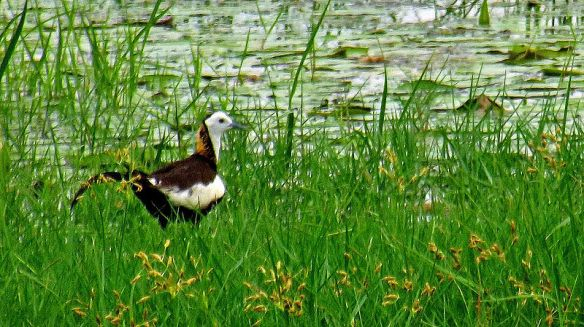 Pheasant-tailed Jacana spotted in Pallikaranai Wetland, Chennai (Photo: Sudharsun Jayaraj)
