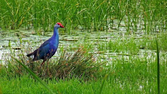 Purple Swamphen-Moorhen in Pallikaranai wetland, Chennai (Photo - Sudharsun Jayaraj)