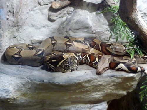 Boa constrictor (Photo credit: Pavel Ševela / Wikimedia Commons)