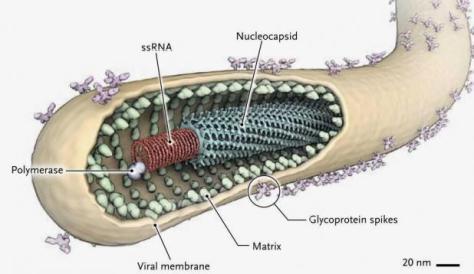 Ebola virus (Source: liberianobvserver.com)