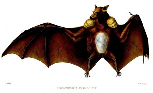 Hammer-headed bat (Hypsignathus monstrosus), also known as the big-lipped bat, is a megabat widely distributed in equatorial Africa. (Credit - Shyamal - Wikipedia)
