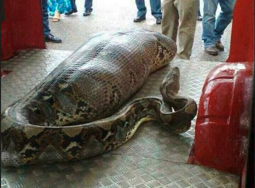 Photograph shows a python purported to have eaten a drunken man in India. (Source - snopes.com)