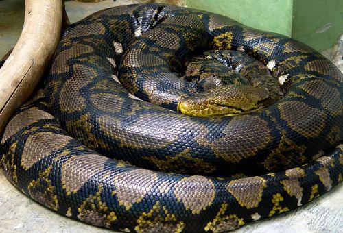 Python reticulatus (Photo credit: Mariluna)