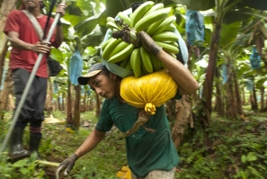 Harvesting bananas