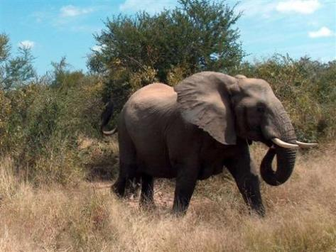 A tusker in the  Kruger National Park in South Africa (Source: gardenwebs.net)