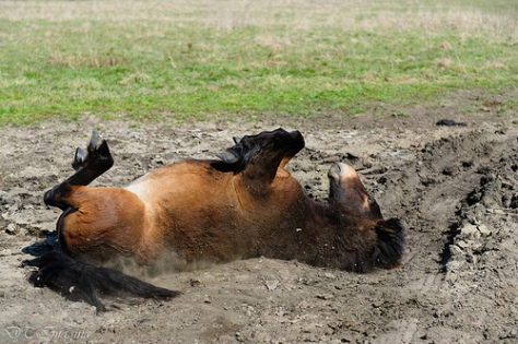 Horse Rolling on its back (Source: Durk Talsma/flickr.com)