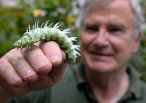 Giant Atlas moth caterpillars (Source: cambstimes.co.uk)