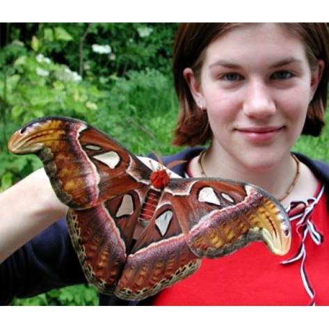 Giant Atlas Moth (Source: wwb.co.uk)